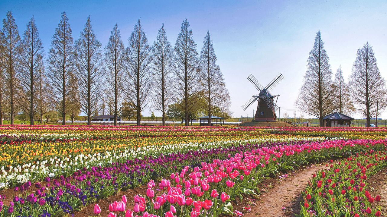 https://www.life.happy-clovers.com/wp-content/uploads/2020/09/TulipWindmill2MV1280.jpg